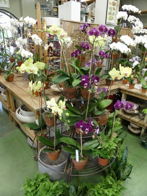 Phals for sale at a Southampton garden center. Budded and blooming they should continue to flower for several more months. These orchids sell fast before the holidays so find one or more that strike your fancy and get it home and settled in. ANDREW MESSINGER