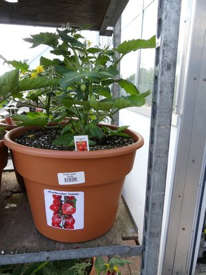 This potted $15 tomato plant is not intended for transplanting but for patio or balcony use. The small green fruits make one think the tomatoes will ripen early, but most likely they won't due to their need for the warmer days of June and July. ANDREW MESSINGER