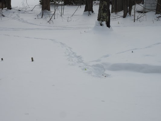 A little snowfall reveals deer 'runs,' or traveling paths, (background) that the deer take nearly every night. The vertical deviation in the center brought one deer to an area where Primula foliage was just inches below the snow. Were the deer smart enough to know that the nearly hidden green flag was a location clue? ANDREW MESSINGER