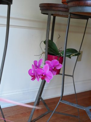 Relegated to the second tier of a plant stand and pretty much ignored, repeatedly dropped and repotted, this Phal blooms for the second time in just over two years. ANDREW MESSINGER