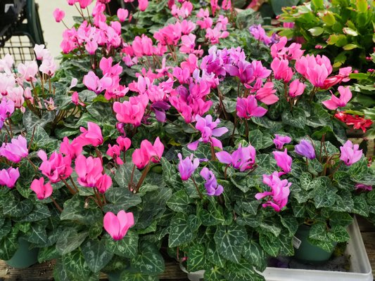The florist's Cyclamen does well in a cool spot and will continue to flower indoors all winter so it's a holiday plant that gives back for months. ANDREW MESSINGER