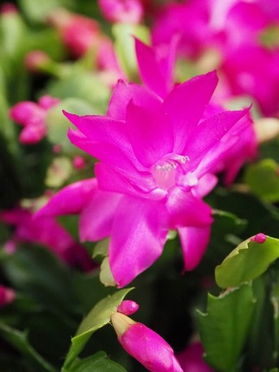 A traditionally colored Christmas cactus. This plant will flower at the same time every year as long as it's left in the same location. It thrives on neglect. ANDREW MESSINGER