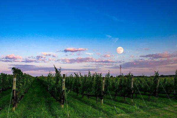 Shinn Estate Vineyard