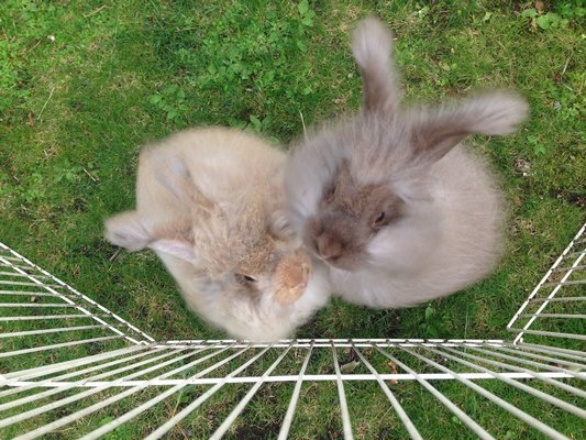 Young Angora rabbits enjoying the fresh grass. COURTESY RACHEL STEPHENS