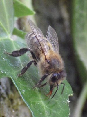 Irish black bee. LISA DAFFY