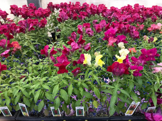 Snaps are also showing up in cell packs at garden centers. While the plants are smaller and take some growing, this can be an economical way of adding some quick color to the garden with this annual. ANDREW MESSINGER