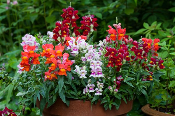 Crackle & Pop is an early-flowering dwarf snapdragon that can brighten up pots, planters and early borders. It grows only 6 to 10 inches tall, had very tight flower set and can be found as a mix or in straight colors. COURTESY NATIONAL GARDEN BUREAU