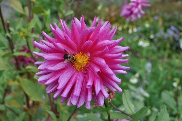 In late summer and into the fall, when dahlias can still be in full bloom, they are a source of pollen for bees who use the pollen as a source of protein. They may also harvest some nectar, which is turned into honey. ANDREW MESSINGER
