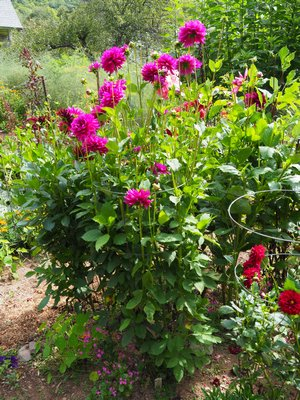 Grow Dahlias From Seeds Or Tubers 27 East