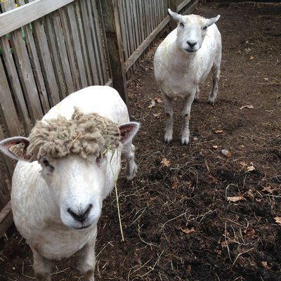 Ewes Kelly and Belle just after shearing. COURTESY RACHEL STEPHENS