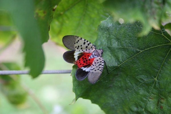 Vineyards have good reason to fear the Spotted Lanternfly as grape leaves, like the one pictured, seem to be one of their favorite feeding sites. COURTESY TIM WEIGLE/CORNELL UNIVERSITY