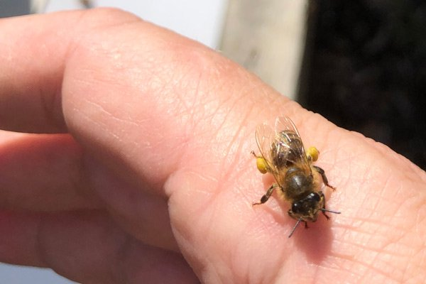 One of the girls showing off an early-spring pollen haul. LISA DAFFY
