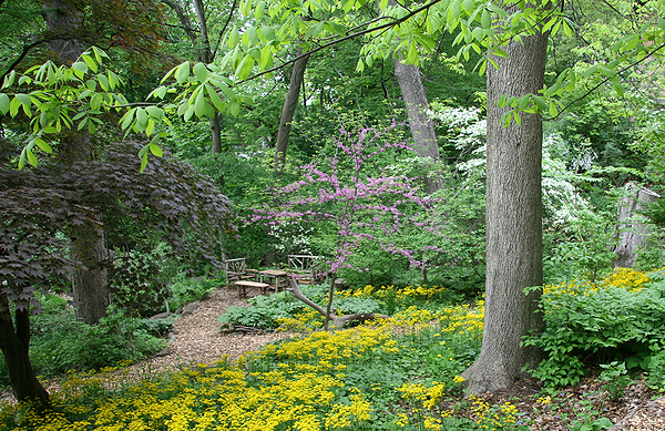 At a shady site, yellow golden groundsel (packera aurea) carpets the ground beneath a hickory, with purple-flowered redbud and white serviceberry trees, and green mayapple covering the ground farther back.  LARRY WEANER