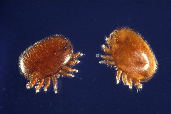 Varroa mites. COURTESY USDA ARS