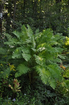 The ostrich fern is one of the most popular, but it likes to spread and move about the garden so it has to be 'managed.' In the wild it can grow as tall as 6 feet like this one, but in cultivation they are usually 2 to 3 feet tall. Note the fertile fronds of a different fern with brown on the backside of the frond to the lower left. The brown area is where the spores are formed. ANDREW MESSINGER