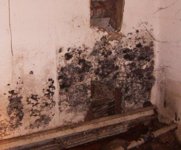 This toxic mold went unseen for months in behind stored plywood in the basement. COURTESY BRAD SLACK