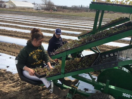 Amagansett Food Institute Director Kate Fullam and Marielle Ingram of Share the Harvest Farms in East Hampton transplanting farm crops last spring.  JESS TON