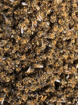 Some of the bees that starved to death over the long winter. LISA DAFFY