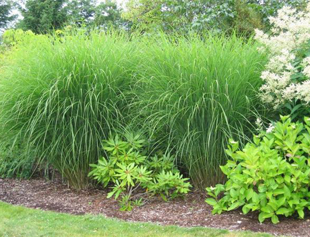 Ornamental Grasses Add A Lot To The Lawn 27 East