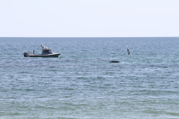 A whale is entangled in a net off Townline Road in Sagaponack. Michael Wright