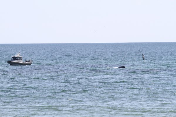 A whale is entangled in a net off Townline Road in Sagaponack.