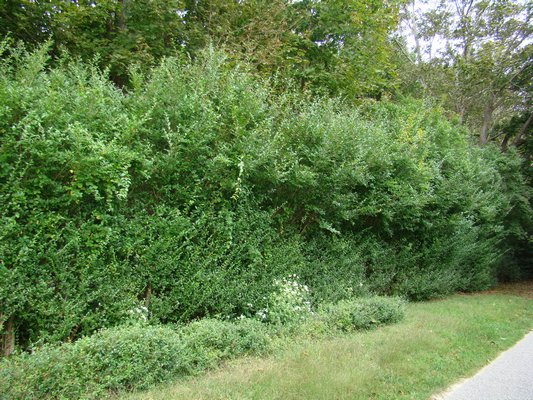 A Hamptons privet hedge gone wild. Not clipped in at least five years, this rampant hedge will take two to three years to rejuvenate and be tamed again. Winter pruning of privetcan be quite successful for rejuvenation. ANDREW MESSINGER