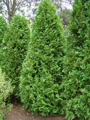 Several varieties of arborvitae can be used at hedging, but it is much less forgiving than privet. ANDREW MESSINGER