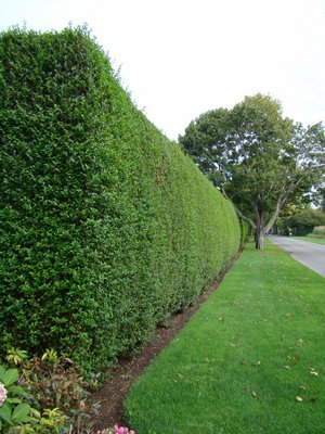 This is a well maintained and closely cropped row of privet hedge in Southampton. Note that it's slightly tapered toward the top. This hedge remains often into early December, and due to its proper shaping, it's not susceptible to snow damage. ANDREW MESSINGER.