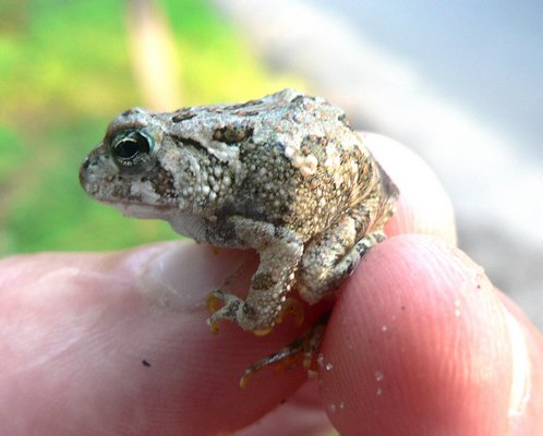 Frog or toad? Warty, dry skin; no webbing between toes; found in woodpile far from water. It is a gray treefrog. MIKE BOTTINI