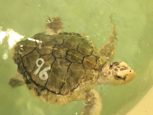 Tarragon, a Kemps Ridley sea turtle enjoy swimming up to visitors.