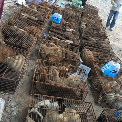 The dogs are crammed into cages and transported to the festival. COURTESY JEFFREY BERI