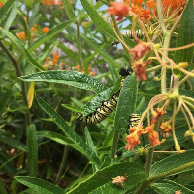 Monarch caterpillars on Asclepias tuberosa, the butterfly weed, in Eastport.