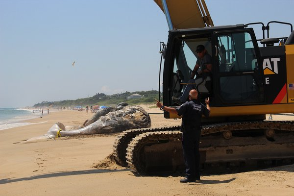 A deceased humpback whale was found off the shore of Montauk on Wednesday. On Friday afternoon, it was brought to shore for a necropsy. KYRIL BROMLEY