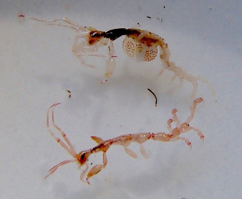 Two of the dozens of half-inch-long skeleton shrimp found clinging to bathing suits of bay swimmers last week. The specimen at top is a female with a round brood plate containing her eggs.  MIKE BOTTINI