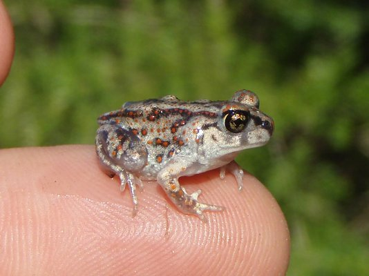 """Our """"phantom toad:"""" a young-of-the-year Eastern spadefoot toad, measuring 0.6 inches in length, found in mid-August 2011."""