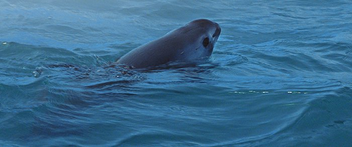 The Vaquita, the smallest and most elusive whale on Earth, is the subject of