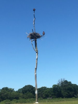 Bald eagles nesting at Accabonac Harbor in Springs.