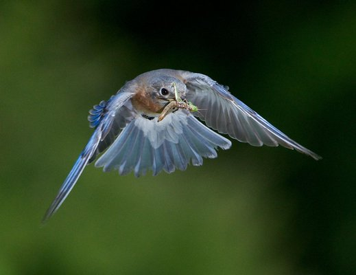 Bluebird. DOUG TALLAMY