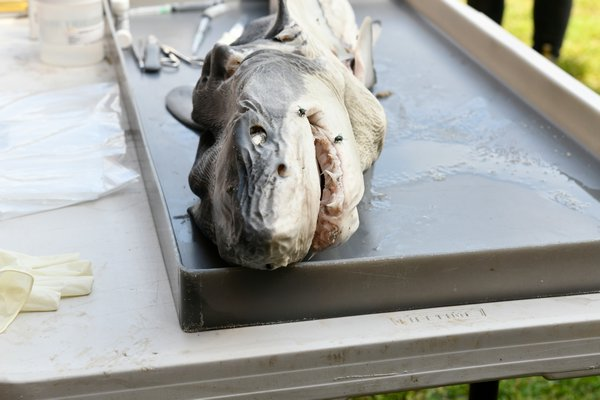 The body of the baby white shark found on Fire Island was brought to Southampton High School for a necropsy.