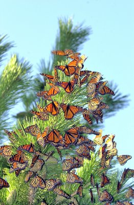 A favorite roosting spot for migrating monarchs is on Dune Road in Hampton Bays.  DANA SHAW