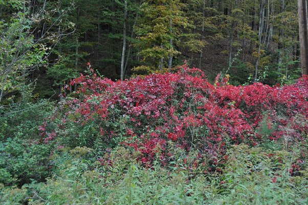 Virginia creeper climbs trees, shrubs and utility poles and is a source of red foliage from the Hamptons up through New England from early to late October. ANDREW MESSINGER