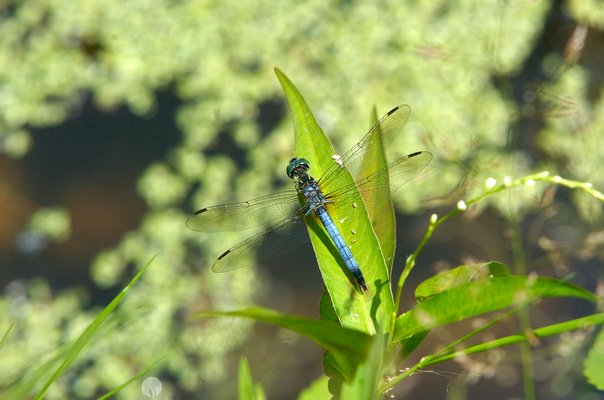 A number of great blue skimmer dragonflies, such as the one shown here, washed ashore.