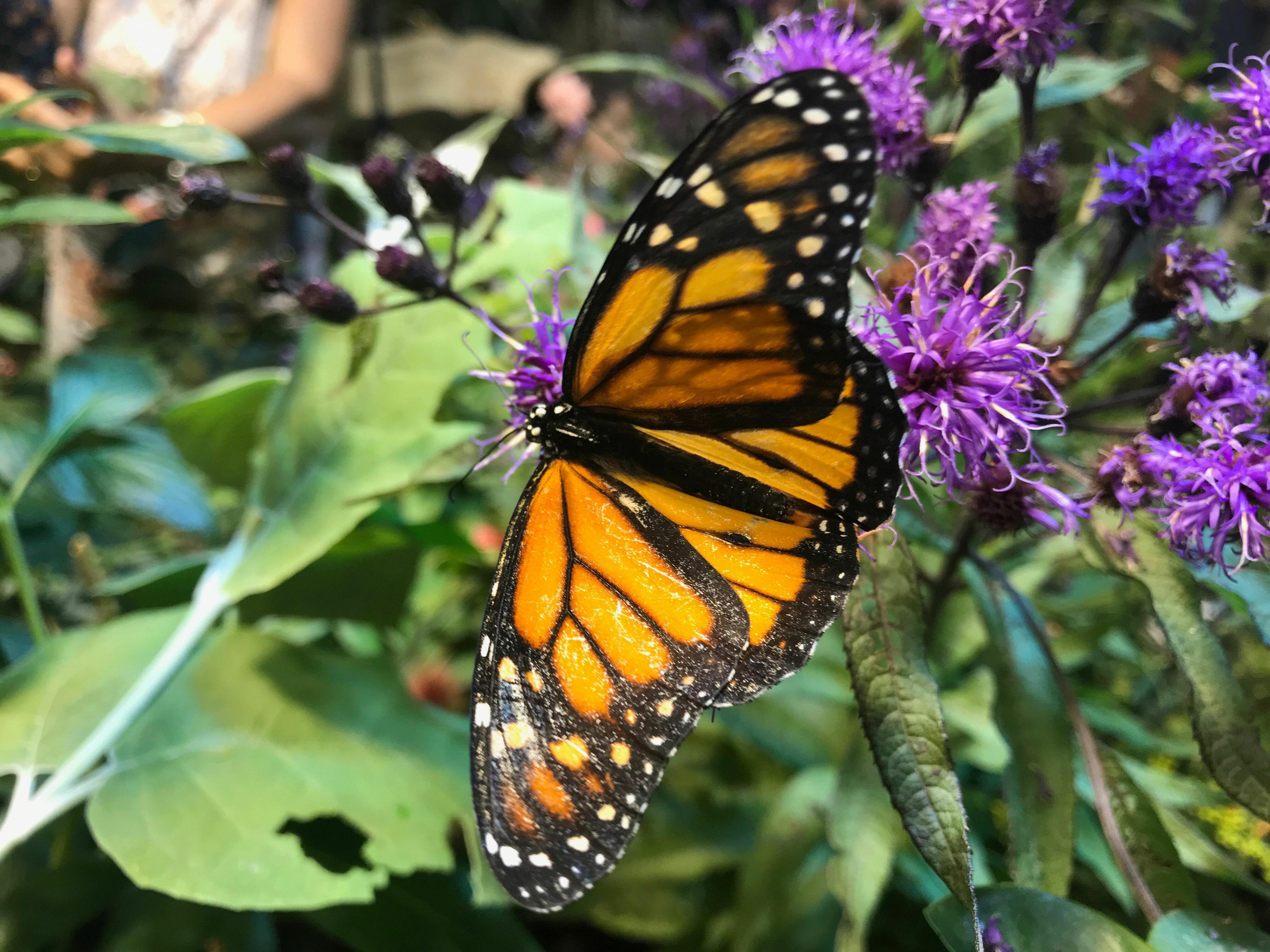 A monarch butterfly. ELIZABETH VESPE