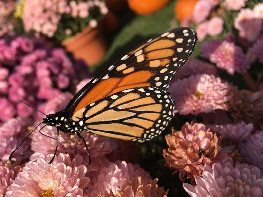 Monarch butterfly populations have seemed to have grown in the past year or so.