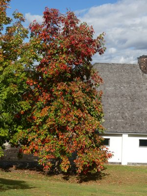 A variety of horse chestnut in Westchester began to turn in late September but an identical tree to the left only shows minor color change toward the top. ANDREW MESSINGER