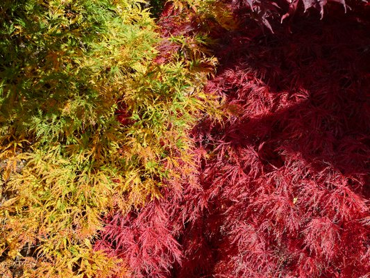 One family of trees, the threadleaf Japanese maples, can provide vivid and changing colors in Hamptons gardens toward the end of October and last for weeks. ANDREW MESSINGER