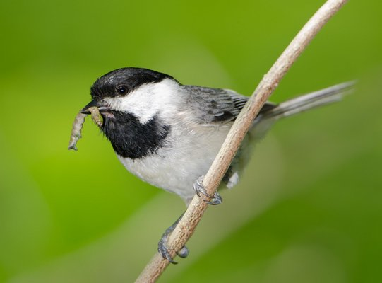 A chickadee with a caterpillar, a necessary food for rearing its young. DOUG TALLAMY