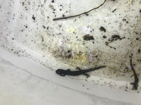 South Fork Natural History Museum annual salamander log rolling in Montauk.   ELIZABETH VESPE