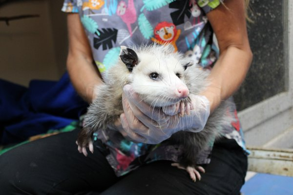 An Opossum being cared for by Wildlife staff for a foot issue. RACHEL VALDESPINO