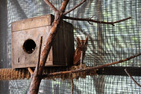 An Owl in the outdoor portion of the center's rehabilitaion department. RACHEL VALDESPINO